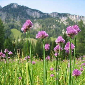 Allium Schoenoprasum Chives - 20 Seeds