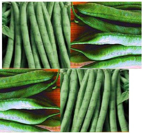 The Dirty Gardener Provider Organic Bush Bean Seeds, 20 Seeds