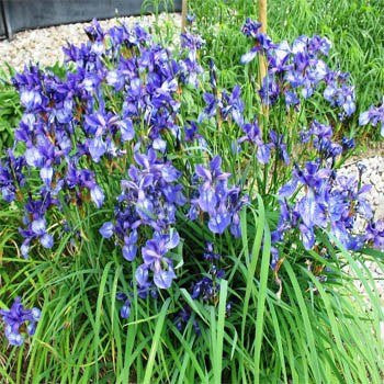 Heirloom Missouriensis Blue Iris Flowers, 25 Seeds
