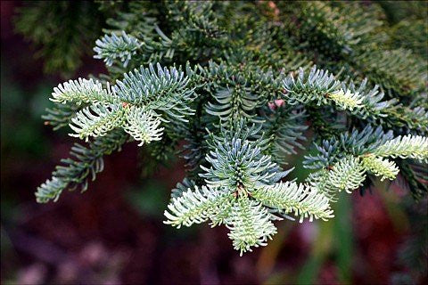 The Dirty Gardener Abies Procera Noble Fir Trees - 15 Seeds