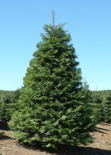 Abies Grandis Grand Fir Trees - 50 Seeds - The Dirty Gardener
