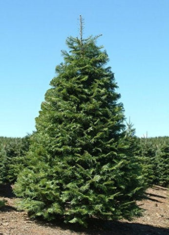Abies Grandis Grand Fir Trees - 50 Seeds