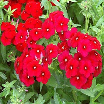 Phlox- Scarlet Flower Seed- 1 Full Pound from The Dirty Gardener