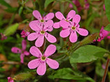 The Dirty Gardener Saponaria Officinalis Bouncing Bet Soapwort Flowers - 35+ Seeds