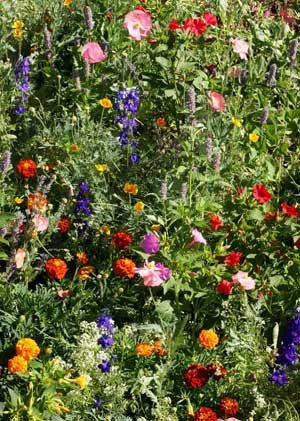 The Dirty Gardener Deer Resistant Wildflowers
