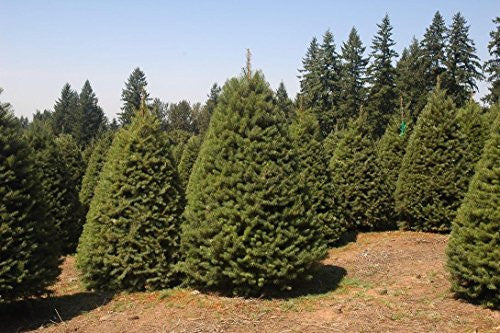 Douglas Fir Tree Christmas Tree Seeds
