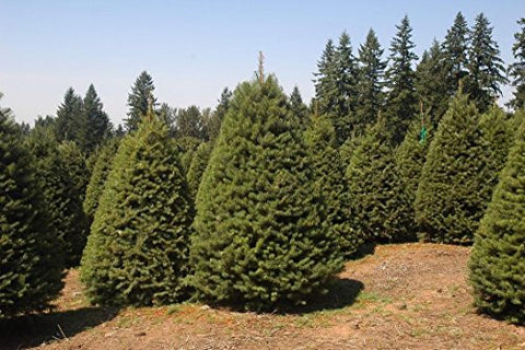 The Dirty Gardener Douglas Fir Christmas Trees, 1,000 Seeds