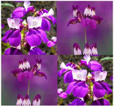 The Dirty Gardener Collinsia Heterophylla Purple Chinese Houses Innocence Flowers, 1,500 Seeds