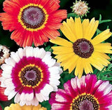 The Dirty Gardener Heirloom Chrysanthemum Carinatum Painted Daisy Flowers, 300 Seeds