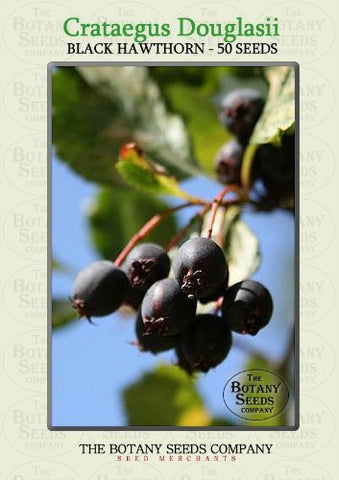 The Dirty Gardener Crataegus Douglasii Black Hawthorn Trees, 50 Seeds
