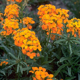 Cheiranthus Allionii Siberian Wallflower Flowers - .25 Pounds