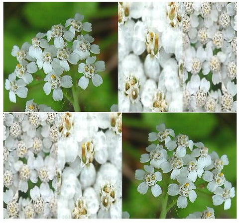 The Dirty Gardener White Yarrow Herb Flowers, 141,200+ Seeds/1 Ounce