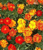 Calendula Officinalis French Sparky Marigold Mix - 1 Pound