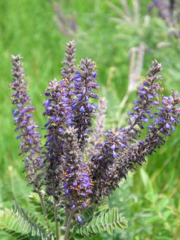 Amorpha Canescens Purple Lead Plant, 100 Seeds
