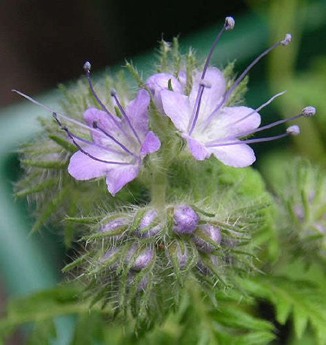 The Dirty Gardener Phacelia Purple Tansy Lacy Fiddleneck Flowers, 300 Seeds