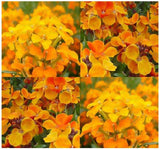 Cheiranthus Allionii Siberian Wallflower Flowers - 1300 Seeds