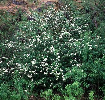 Crataegus Douglasii Black Hawthorn Trees, 50 Seeds