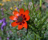 The Dirty Gardener Adonis Aestivalis Pheasant's Eyes Wildflowers