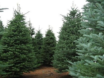 Abies Procera Noble Fir Trees - 3 Seeds - The Dirty Gardener