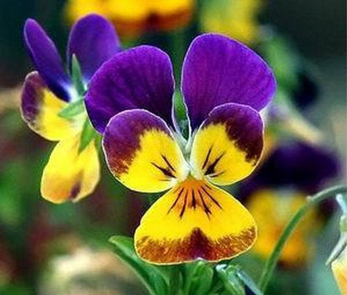 Johnny Jump-Up Viola Flowers, 100 Seeds