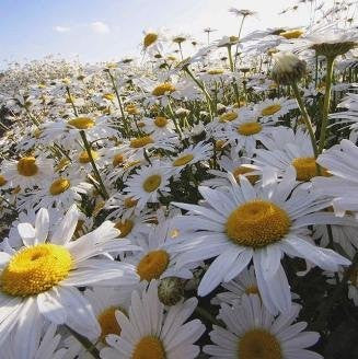 The Dirty Gardener Wildflower Ox-Eye Daisy Flowers - 4,000 Seeds