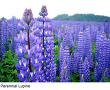 The Dirty Gardener Lupinus Perennis Blue Lupine Wildflowers