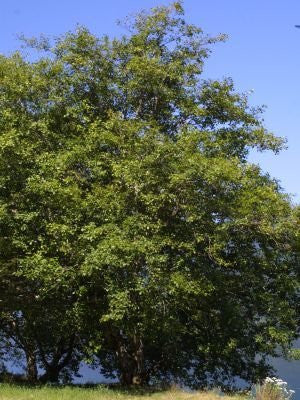 Alnus Rubra Red Alder Trees, 50 Seeds