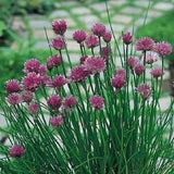 Miro Allium Schoenoprasum Chives, 300 Seeds