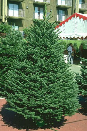 Abies Procera Noble Fir Trees - 50 Seeds