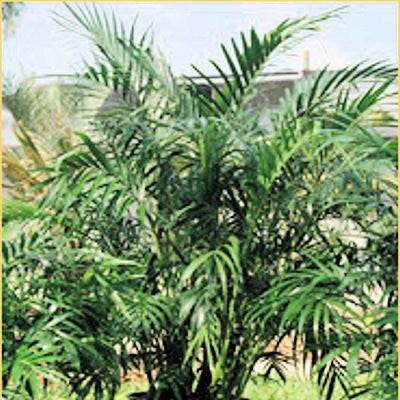 The Dirty Gardener Chamaedorea Elegans Parlor Palm