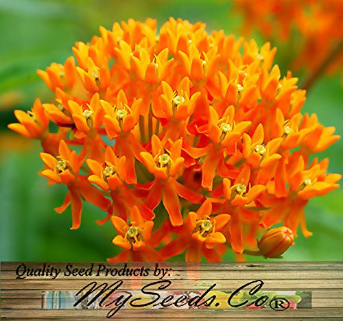 The Dirty Gardener Asclepias Tuberosa Butterfly Milkweed Flowers - 30 seeds