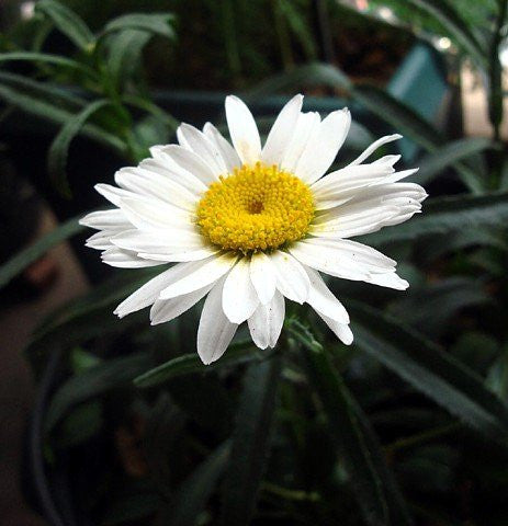 The Dirty Gardener Alaska Shasta Daisy Flowers, 200 Seeds/1 Gram