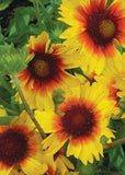 The Dirty Gardener Gaillardia Aristata Pinwheel Blanket Flowers