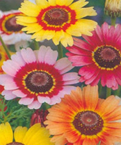 Painted Daisy Rainbow Mix 25 Seeds Chrysanthemum Carinatum from The Dirty Gardener