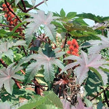 The Dirty Gardener Ricinus Communis Castor Bean Shrub