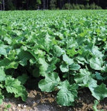 The Dirty Gardener 5 Pounds Brassica Napus Forge Dwarf Essex Rape Cover Crop