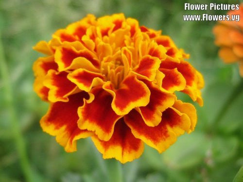 Calendula Officinalis French Sparky Marigold Mix - 400 Seeds