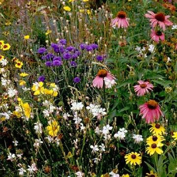 Southwest Wildflower Seed Mix 1/2 Pound From The Dirty Gardener