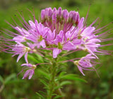 The Dirty Gardener Rocky Mountain Bee Plant Cleome Serrulata Flowers - 500 Milligrams