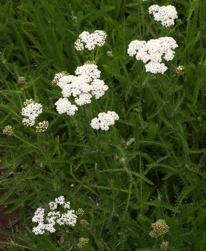Achillea Millefolium White Yarrow Wildflowers - 1,000 Seeds - The Dirty Gardener