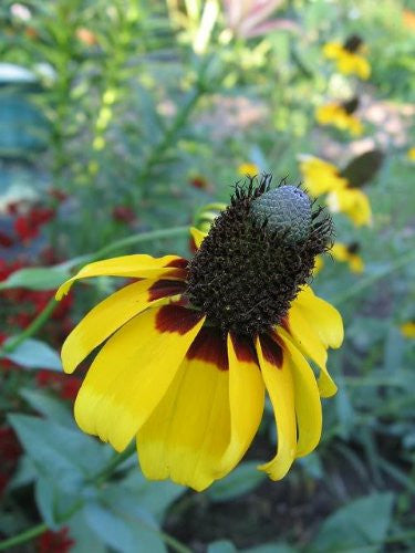 The Dirty Gardener Rudbeckia Amplexicaulis Clasping Coneflower Flowers - 3,000 Seeds