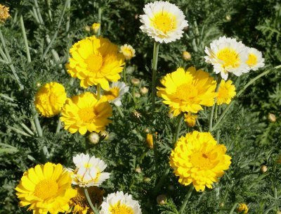 Chrysanthemum Coronarium Edible Garland Daisy Flowers - 100 Seeds