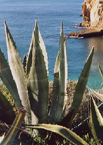 The Dirty Gardener Tropica Century American Aloe, 10 Seeds