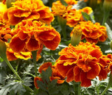 The Dirty Gardener Heirloom Tagetes Patula French Marigold Sparky, 500 Seeds
