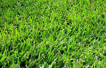 Coated Bermuda Grass Seed- 10# Bulk Pounds