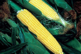 Kandy King Corn - 1,250 Seeds/.5 Pounds