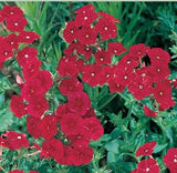 The Dirty Gardener Drummond Phlox Flowers, 250 Seeds