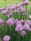 The Dirty Gardener Allium Schoenoprasum Chives