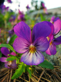 Johnny Jump-Up Viola Tricolor Flowers - 250 Seeds