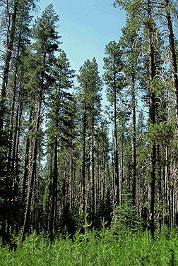 The Dirty Gardener Lodgepole Pine Trees, 100 Seeds